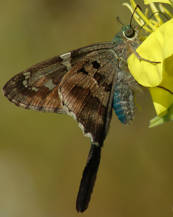 A close up of a long tail skipper moth, marked by its blue and brown coloration.